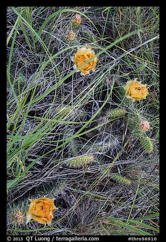 Prairie grasses and blooming prickly pear cactus. Theodore Roosevelt National Park, North Dakota, USA.
