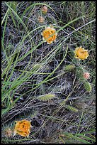 Prairie grasses and blooming prickly pear cactus. Theodore Roosevelt National Park ( color)