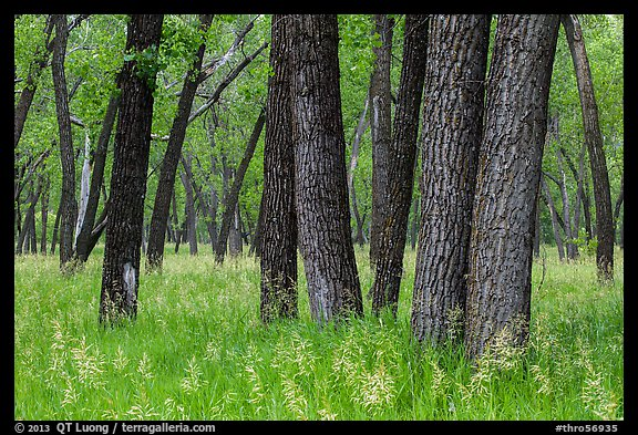 Cottonwood grove. Theodore Roosevelt National Park (color)