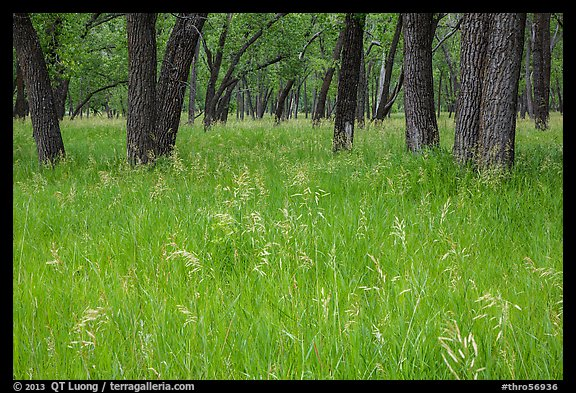 Grasses in summer and cottonwoods. Theodore Roosevelt National Park (color)