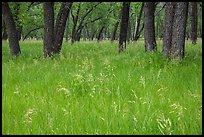 Grasses in summer and cottonwoods. Theodore Roosevelt National Park ( color)