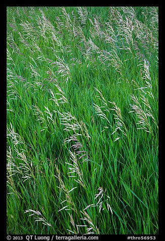 Tall grasses in summer, Elkhorn Ranch Unit. Theodore Roosevelt National Park (color)