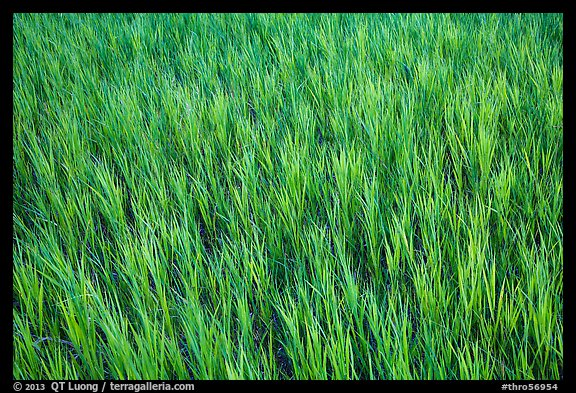Grasses in summer, Elkhorn Ranch Unit. Theodore Roosevelt National Park (color)