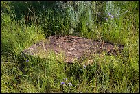 Foundation stone of Elkhorn Ranch amongst grasses and summer flowers. Theodore Roosevelt National Park ( color)