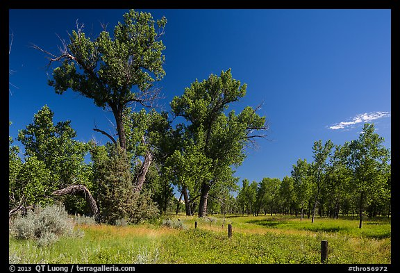 Old cottonwoods, and Elkhorn Ranch site fence. Theodore Roosevelt National Park (color)