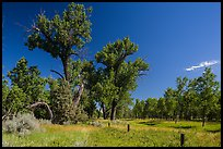 Old cottonwoods, and Elkhorn Ranch site fence. Theodore Roosevelt National Park ( color)