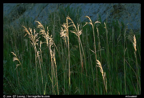 Backlit tall grasses. Theodore Roosevelt National Park (color)