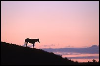 Wild horse silhouetted at sunset, South Unit. Theodore Roosevelt National Park ( color)