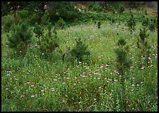 Purple Horsemint flowers and young ponderosa pines. Wind Cave National Park ( color)