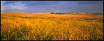 Prairie grasses at sunrise. Wind Cave National Park (Panoramic color)