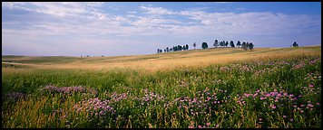 Prairie landscape with wildflowers and trees. Wind Cave National Park (Panoramic color)