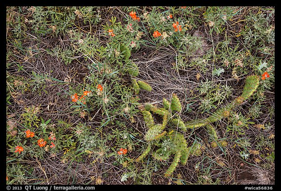 Ground close-up with cactus and prairie flowers. Wind Cave National Park (color)