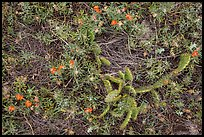 Ground close-up with cactus and prairie flowers. Wind Cave National Park ( color)