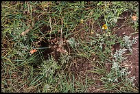 Ground close-up with grasses, flowers, and prairie dog burrow entrance. Wind Cave National Park, South Dakota, USA. (color)