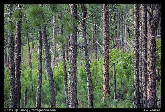 Pine forest. Wind Cave National Park (color)