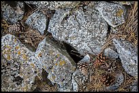 Limestone rock and ponderosa pine cones. Wind Cave National Park, South Dakota, USA.