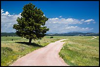 Gravel road and pine tree. Wind Cave National Park, South Dakota, USA.