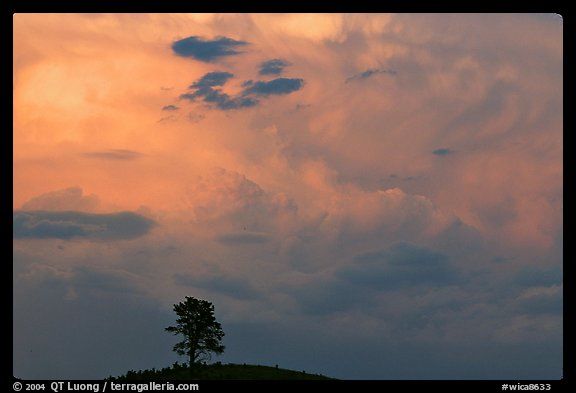 Ponderosa pine on hill and pink storm cloud, sunset. Wind Cave National Park (color)