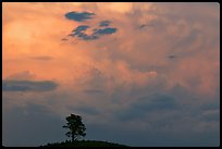 Ponderosa pine on hill and pink storm cloud, sunset. Wind Cave National Park, South Dakota, USA.