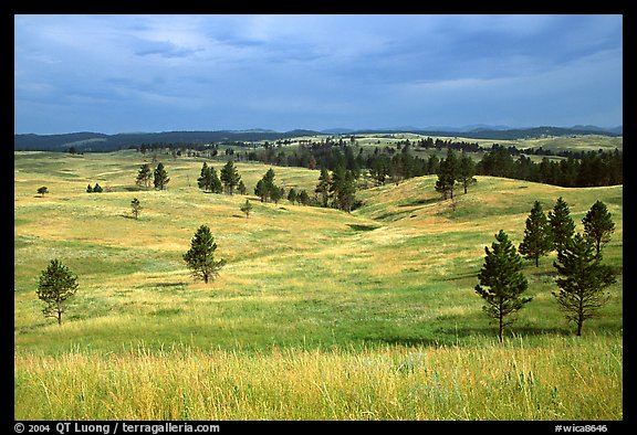 Ponderosa pines and rolling hills near Gobbler Pass. Wind Cave National Park (color)