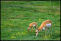 Pronghorn Antelope cow and calf in the prairie. Wind Cave National Park, South Dakota, USA. (color)