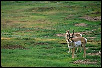 Pronghorn Antelope bull and cow. Wind Cave National Park, South Dakota, USA. (color)