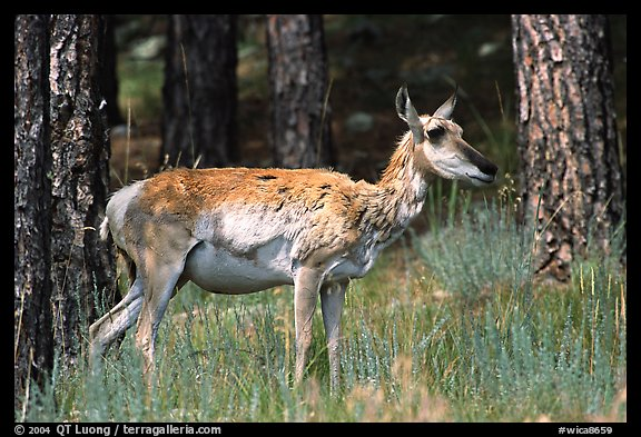 Pronghorn Antelope in pine forest. Wind Cave National Park (color)