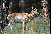 Pronghorn Antelope in pine forest. Wind Cave National Park, South Dakota, USA. (color)