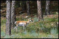 Pronghorn Antelope in pine forest. Wind Cave National Park, South Dakota, USA.