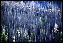 Bare trees on hill. Yellowstone National Park ( color)