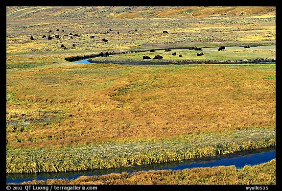 Yellowstone River, meadow, and bisons in Heyden Valley. Yellowstone National Park (color)