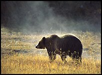 Grizzly bear and thermal steam. Yellowstone National Park, Wyoming, USA. (color)