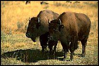 Two bisons. Yellowstone National Park, Wyoming, USA.