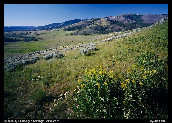 Yellow flowers and Mt Washburn, early morning. Yellowstone National Park (color)