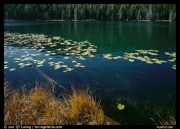 Water lilies and pond. Yellowstone National Park (color)