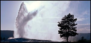 Old Faithful geyser and tree. Yellowstone National Park, Wyoming, USA.
