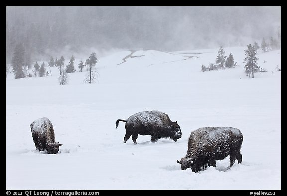 Snow-covered bison in winter. Yellowstone National Park (color)