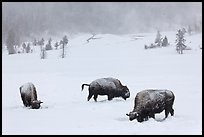 Snow-covered bison in winter. Yellowstone National Park, Wyoming, USA.