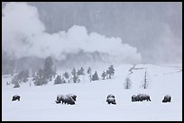 Bison and Lion Geyser in winter. Yellowstone National Park, Wyoming, USA.