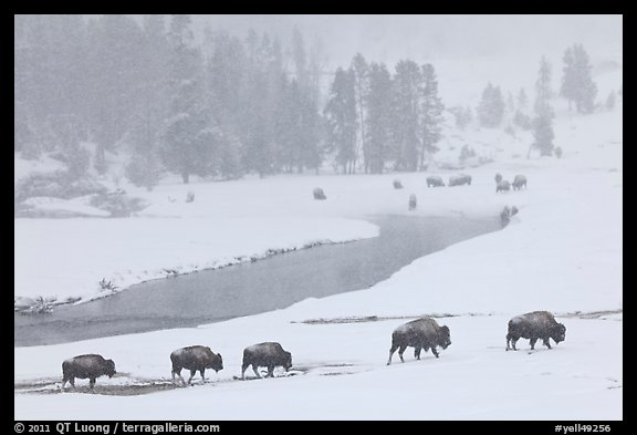 Bison moving in single file next to Firehole river, winter. Yellowstone National Park (color)