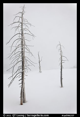 Tree skeletons in winter. Yellowstone National Park (color)