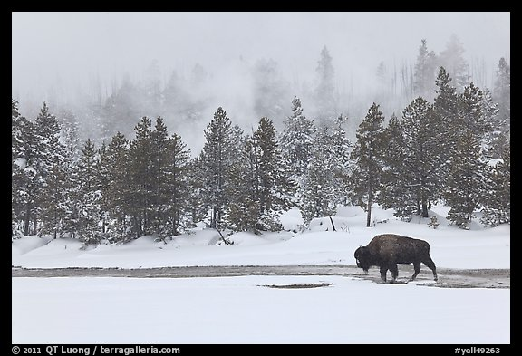 Bison following warm stream in winter. Yellowstone National Park (color)
