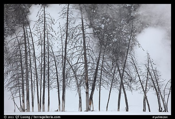 Bare trees and steam in winter. Yellowstone National Park (color)