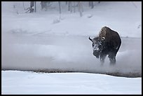 Bison crossing Firehole River in winter. Yellowstone National Park, Wyoming, USA.