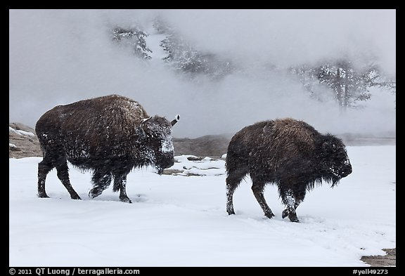 Two American bisons in winter. Yellowstone National Park (color)