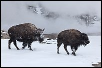 Two American bisons in winter. Yellowstone National Park, Wyoming, USA. (color)