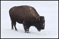 American bison in winter. Yellowstone National Park, Wyoming, USA. (color)
