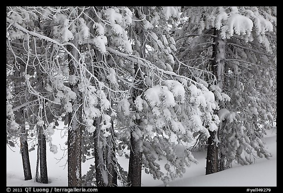 Snow-covered branches. Yellowstone National Park (color)