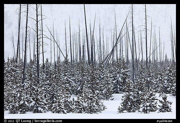 Sapplings and burned trees in winter. Yellowstone National Park (color)