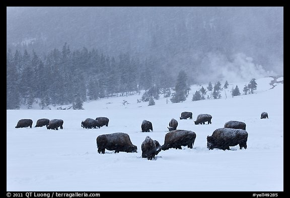 Herd of buffaloes during snow storm. Yellowstone National Park (color)